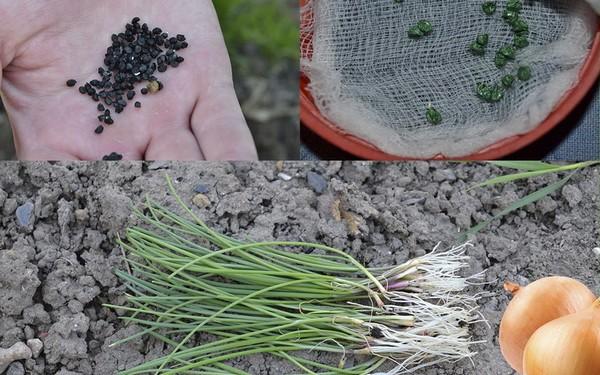 Выделяют три способа выращивания лука