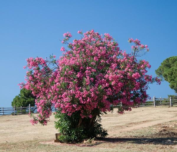 Растение любит обильный полив, а также влажность, в связи с чем на участках его часто сажают рядом с водоемами