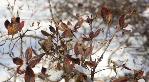 Листопадный рододендрон сбрасывает листья на зиму