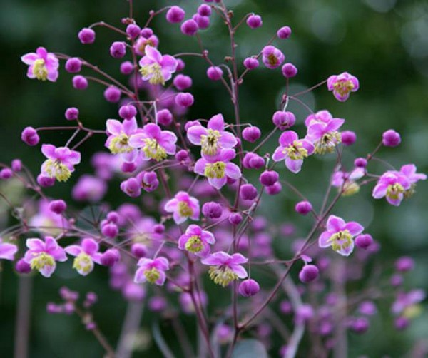 Соцветия появляются обычно лишь на второй год жизни Василистника