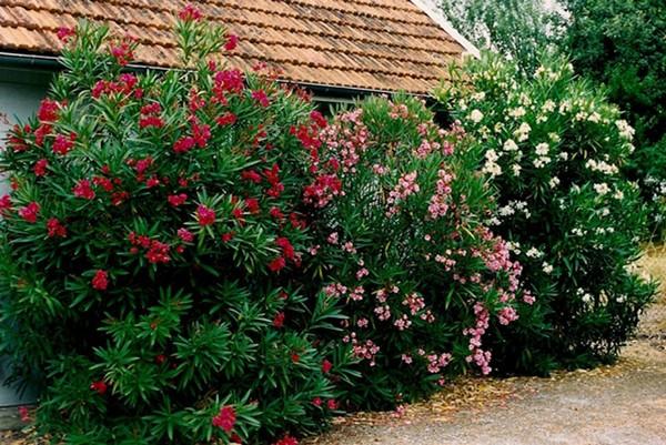 Часто такое растение используют в народной медицине, но делать это нужно максимально аккуратно, поскольку олеандр ядовит