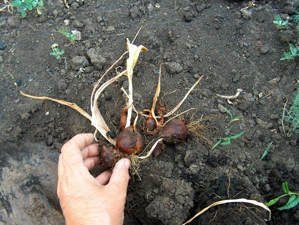 Лучше после цветения извлекать луковицы из грунта и оставлять их в сухом темном месте