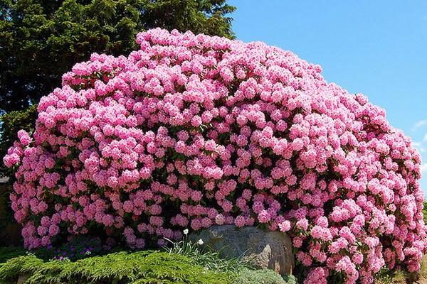 Чтобы растение радовало глаз на протяжении долгих лет, важно правильно подобрать место для его высадки