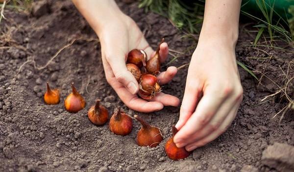 Важно не забыть осмотреть луковицы, а также продезинфицировать их