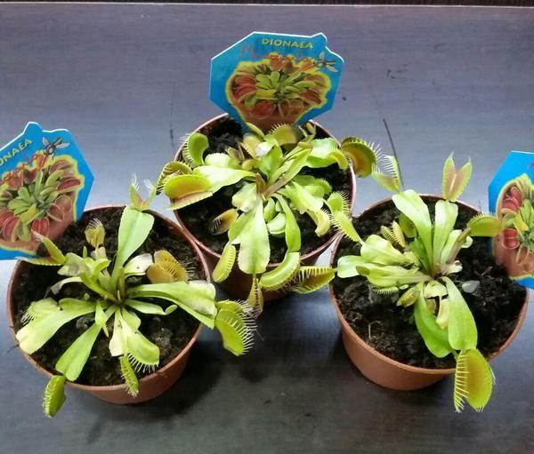 При пересадке, «переезде» растения оно какое-то время не будет нуждаться в пище