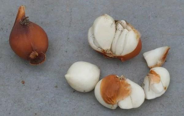 Луковицы высаживают обратно в грунт осенью, но перед этим вновь просматривают