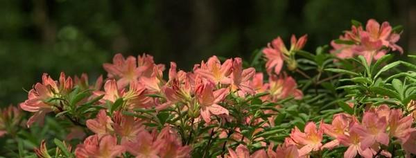 Рекомендуется сажать такие растения в полутени, например, под высокими растениями с широкой кроной
