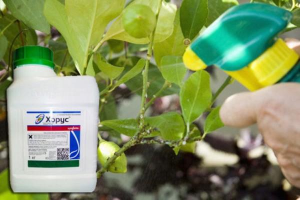 В борьбе с болезнями будет эффективен препарат «Хорус», причем не только для слив, но и для многих других плодовых растений