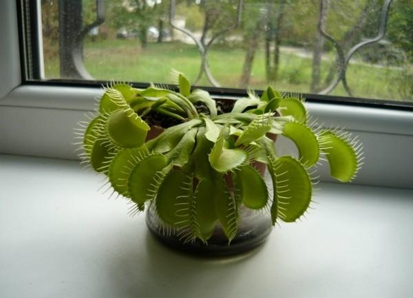 Зимой растение нужно держать в помещении, где температура составляет 2-10 градусов