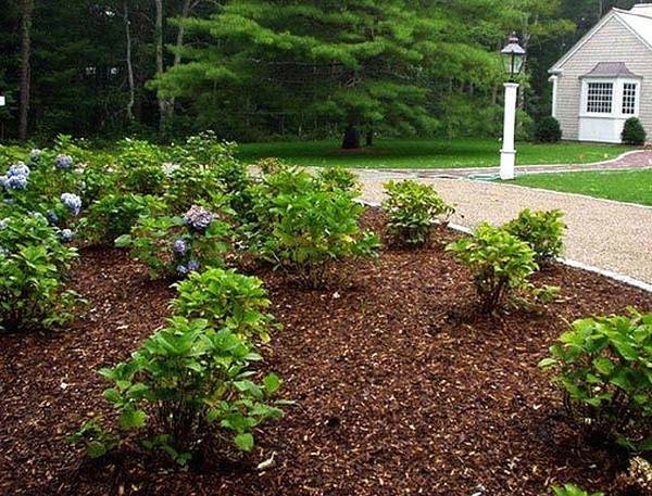Обязательно мульчировать рододендрон: зимой это убережет от промерзания корней, а летом обеспечит сохранение влаги в почве