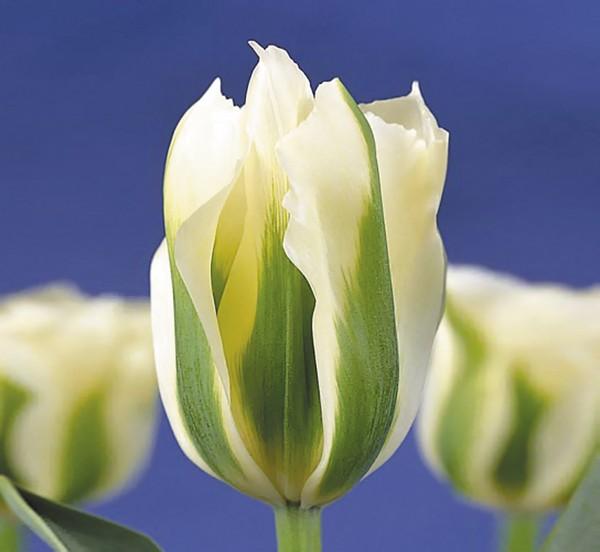 Зеленоцветные тюльпаны