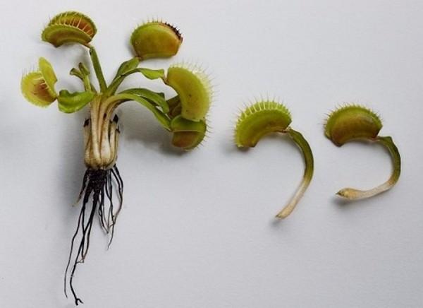 Дионея дает множество луковиц, но их отделение – стресс для растения