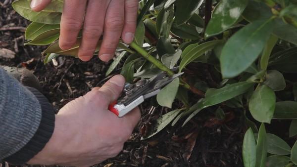 Проще всего размножать такое растение отводками – это наиболее результативный способ