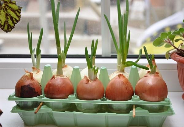 На своем участке можно выращивать разные сорта лука, но стоит прислушиваться к мнению местных опытных садоводов и выбирать наиболее удачные, чтобы не тратить время на собственные эксперименты