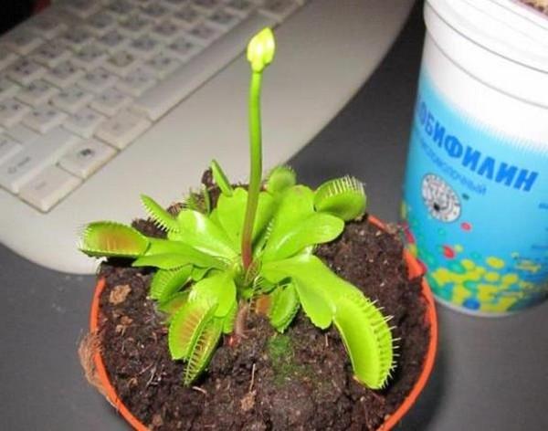 Можно размножить растение с помощью вырастающего цветоноса, который срезается и укореняется в торфе