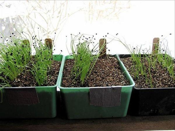У выращивания лука из семян довольно много преимуществ, и такой способ отлично подойдет для новичков