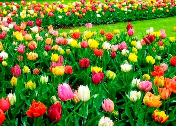Голландия – страна тюльпанов