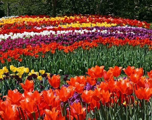 Известный всем цветок можно найти в различных оттенках
