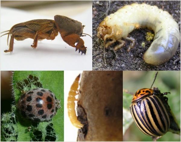 Вредители опасны для множества растений, поскольку они уничтожают плоды, поедают листья, кору, а также разносят заболевания