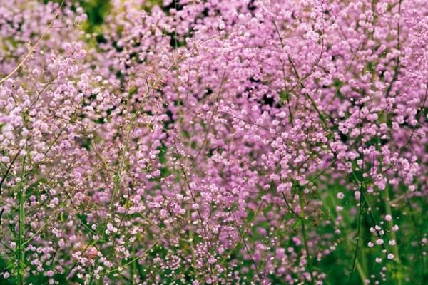 Часто выращивают Василистник на альпийских горках