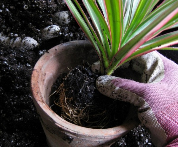 У горшков из глины есть минусы – в них почва засыхает обычно довольно быстро, а также их легко разбить