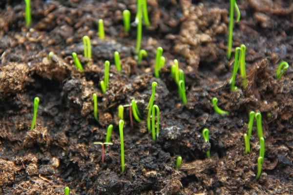 Семейный лук посадка и уход в открытом грунте выращивание когда сажать