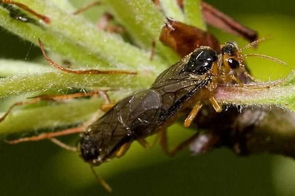 Пилильщики уничтожают плоды и листья растений, прогрызая их. Особенно они любят молодые деревья