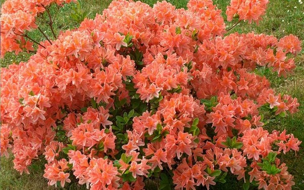 Сортов у такого растения достаточно много, и все они отличаются яркими цветами