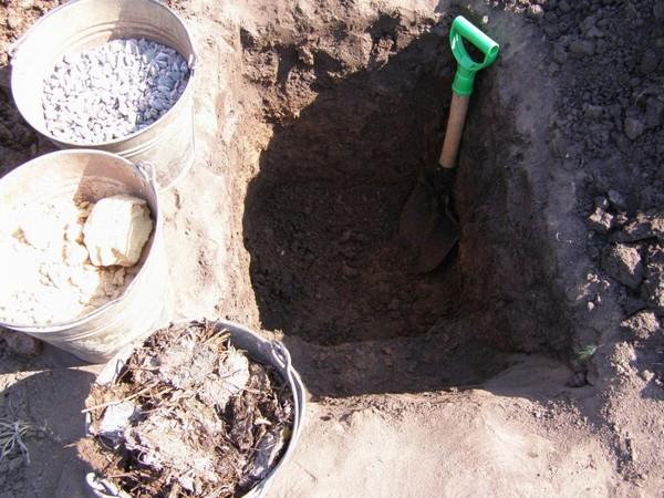 Стоит заранее подготовить яму для посадки такого растения, на ее дно уложить дренажный слой