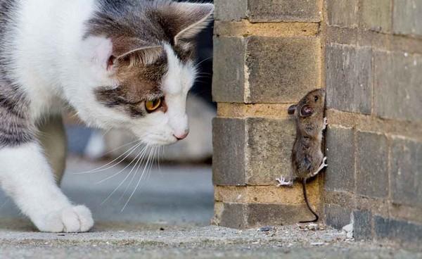 Можно завести кошек, которые помогут избавиться от крыс и мышей, но такой способ, конечно, не дает гарантии полного устранения вредителей