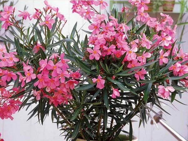 Родиной цветка являются страны с практически постоянным жарким климатом