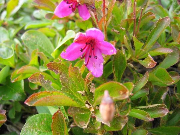 Камчатский рододендрон - растение невысокое, относящееся к стелющимся. Его можно успешно использовать на альпийских горках