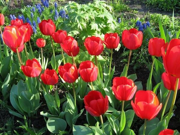 Лучше сажать растения на разные места на участке, чтобы почва «отдыхала» от тюльпанов