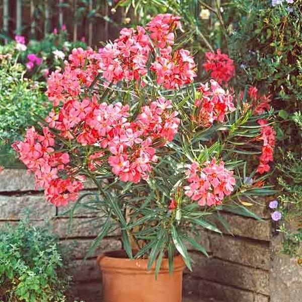 Чаще всего встречаются олеандры с розовыми цветками, однако некоторые сорта могут иметь лепестки другого оттенка