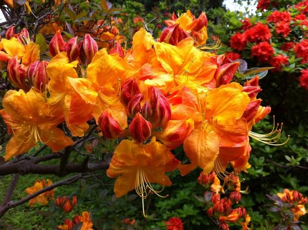 Рододендрон Клондайк имеет привлекательные огненно-рыжие цветы