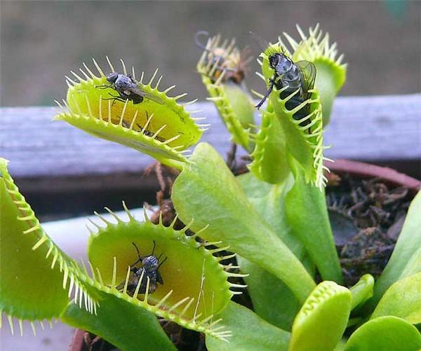 Когда насекомое начинает барахтаться, это провоцирует растение сильнее сжать ловушку