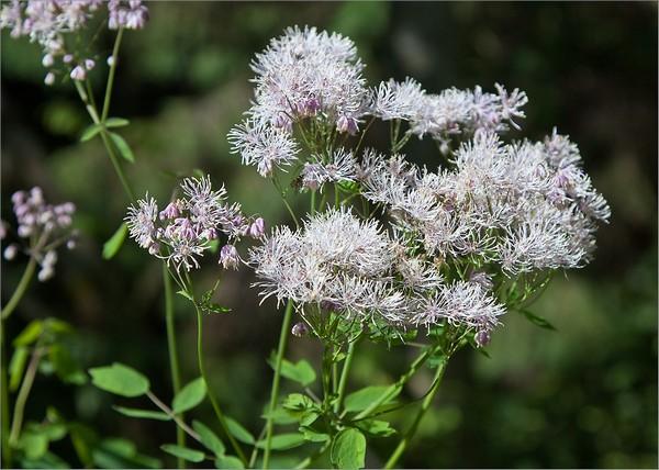 Лучше размножать Василистник делением куста или черенкованием, чтобы он сохранил красоту материнского растения