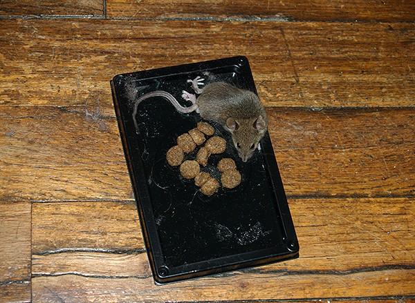 Клеевые ловушки для мышей считаются достаточно эффективными, однако в случае с крысами они могут не помочь