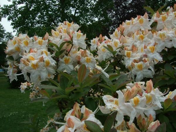 Сорт Сильвер слиппер отличается белыми цветами с желтыми пятнами