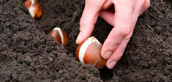 Можно высадить луковицы тюльпанов и по весне, но цветы, скорее всего, получится увидеть лишь на следующий год