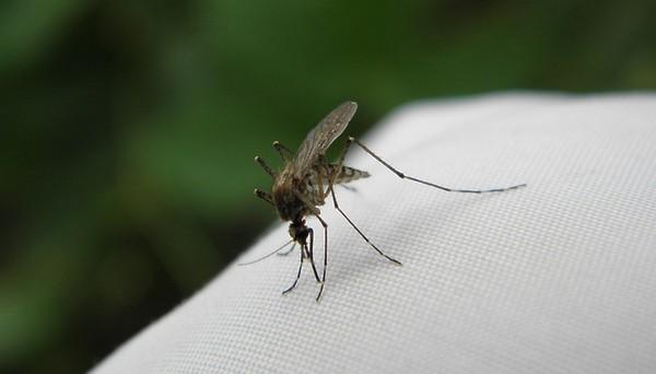 При обнаружении комаров в доме рекомендуется избавиться от них как можно скорее, поскольку они могут отложить яйца