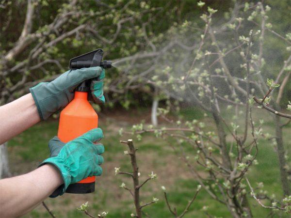 Вишни и черешни также необходимо опрыскивать несколько раз за сезон