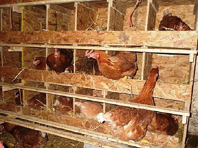 В утепленном курятнике необходимо создать условия для комфортного проживания птицы