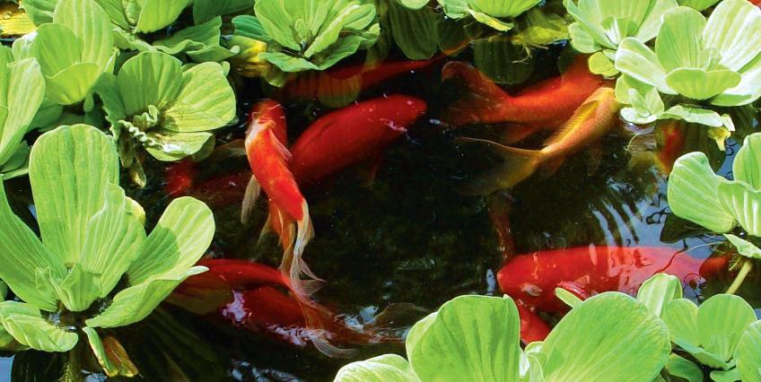 Плавающая стайка декоративных рыбок - лучшее украшение пруда