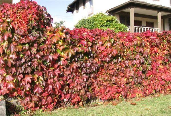 Для оплетения прозрачного забора высаживаются растения способные виться, их называют лианами. Самая известная лиана – это виноград