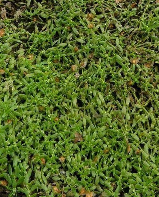 Растения, имеющие свойства обогащать воду кислородом - болотник...