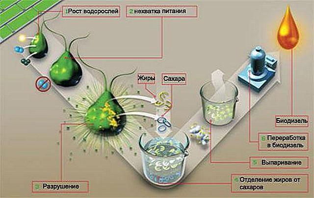От зеленых водорослей - к полноценному топливу