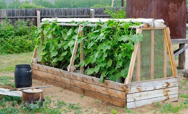 Ранние урожаи помогут получить парники или теплицы