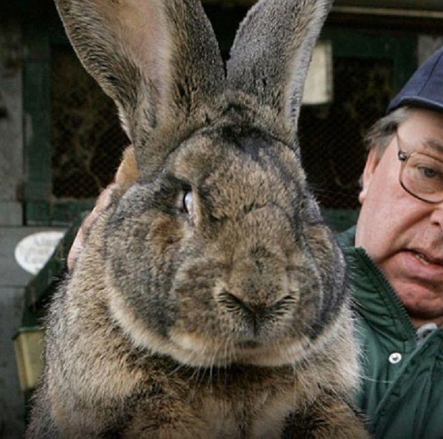 Для кроликов-«великанов» требуются особые условия содержания