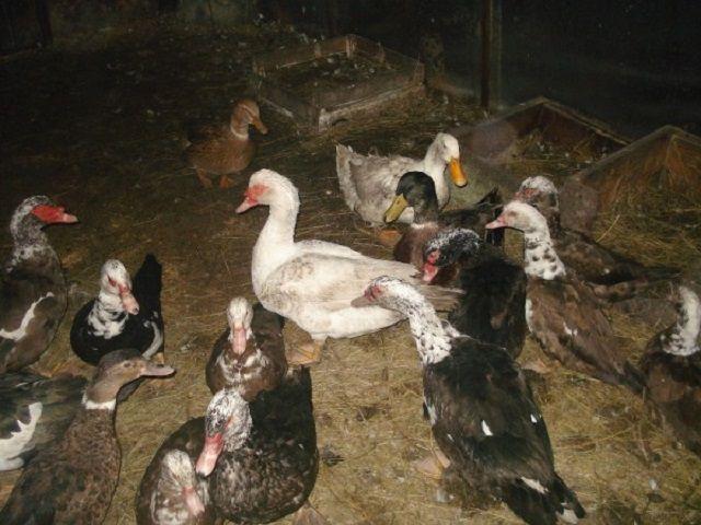 Общее количество поголовья уток должно находиться в прямой зависимости от площади птичника